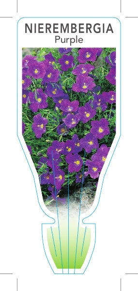 Picture of ANNUAL NIEREMBERGIA CAERULEA PURPLE
