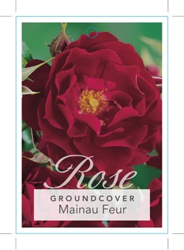 Picture of ROSE MAINAU FEUR (GROUNDCOVER)