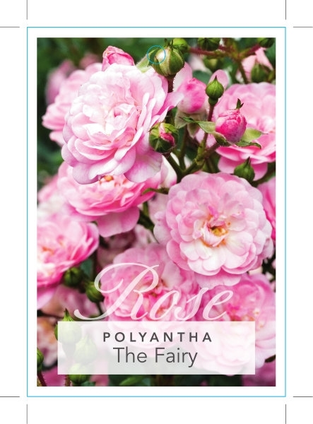 Picture of ROSE THE FAIRY (POLYANTHA)