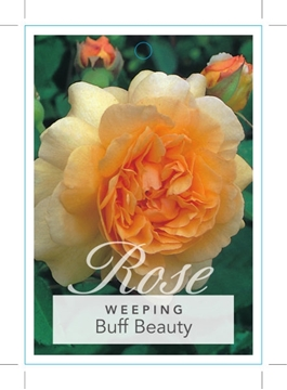 Picture of ROSE BUFF BEAUTY (WEEPING)