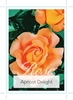 Picture of ROSE APRICOT DELIGHT (HT)