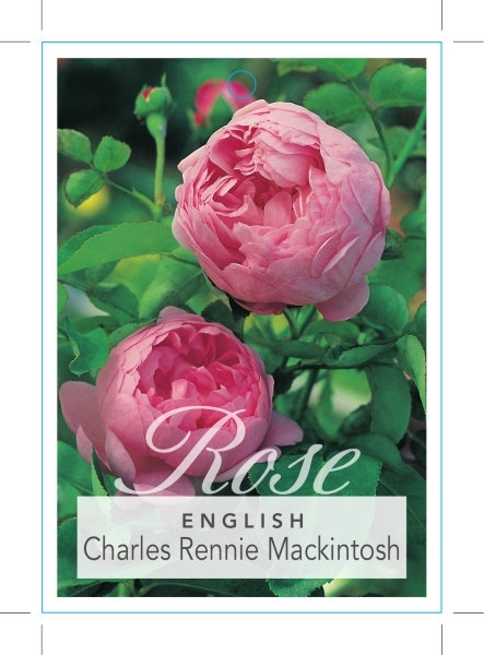 Picture of ROSE CHARLES RENNIE MACKINTOSH (ER)