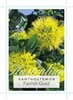 Picture of XANTHOSTEMON FAIRHILL GOLD