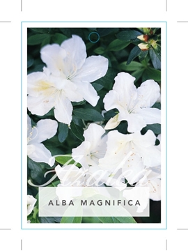 Picture of **AZALEA ALBA MAGNIFICA
