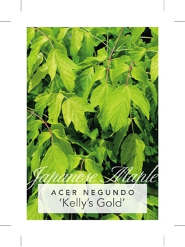 Picture of **ACER NEGUNDO KELLYS GOLD