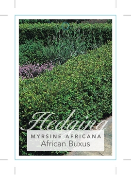 Picture of **MYRSINE AFRICANA AFRICAN BUXUS