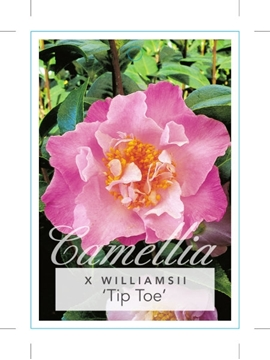Picture of **CAMELLIA TIP TOE
