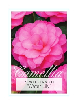 Picture of **CAMELLIA WATERLILY