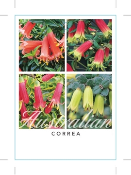 Picture of CORREA MIXED PICTURE (UNNAMED VARIETY)