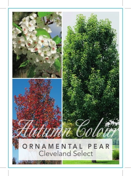 Picture of PYRUS CALLERYANA CLEVELAND SELECT ORNAMENTAL PEAR Jumbo Tag