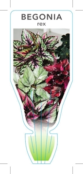 Picture of HOUSEPLANT BEGONIA REX PAINTED LEAF