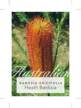 Picture of **BANKSIA ERICIFOLIA HEATH LEAVED BANKSIA