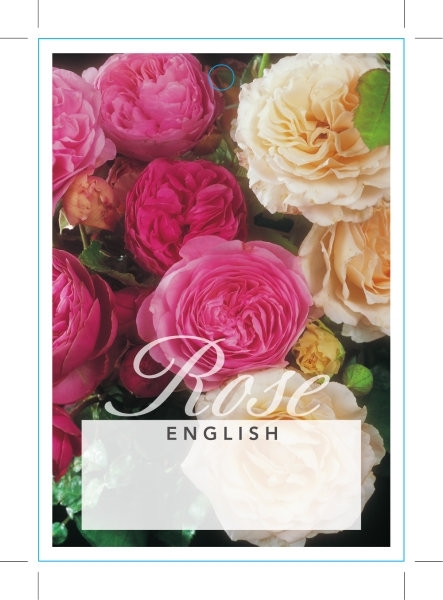 Picture of ROSE ENGLISH - MIXED PICTURE (UNNAMED VARIETY) (ER)