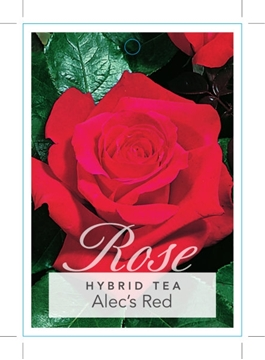 Picture of ROSE ALECS RED (HT)