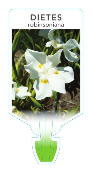 Picture of DIETES ROBINSONIANA WEDDING LILY