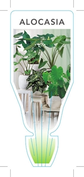 Picture of HOUSEPLANT ALOCASIA (MIXED PICTURE)