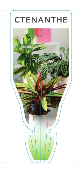 Picture of HOUSEPLANT CTENANTHE