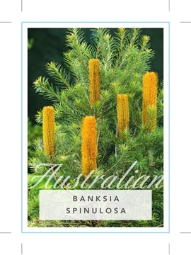 Picture of BANKSIA SPINULOSA HAIRPIN