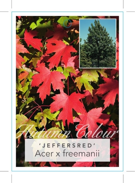Picture of ACER X FREEMANII JEFFERSRED