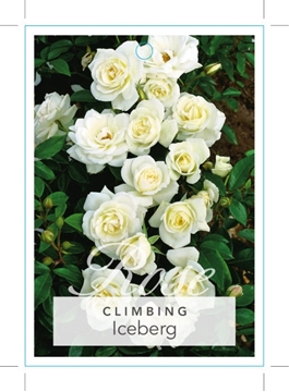 Picture of ROSE ICEBERG (CL)